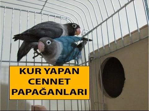 Kur Yapan Cennet Papağanı