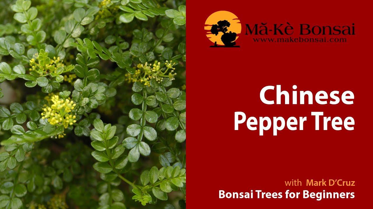 56 How To Care For Chinese Pepper Bonsai Zanthoxylum Beecheyanum Bonsai Trees For Beginners Youtube