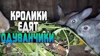МАЛЕНЬКИЕ КРОЛИКИ ЕДЯТ ОДУВАНЧИКИ! [ Можно ли кормить кроликов одуванчиками? ]