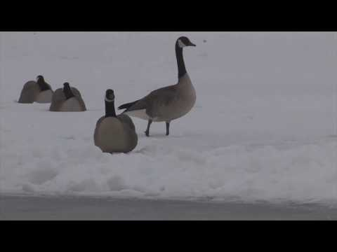Waterfowl Hunting - MOST EPIC & UNIQUE GOOSE HUNT on Youtube!