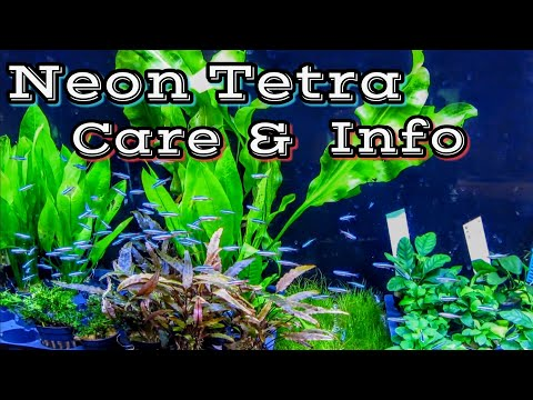 Neon Tetra Care And Information - How To Keep Neon Tetras