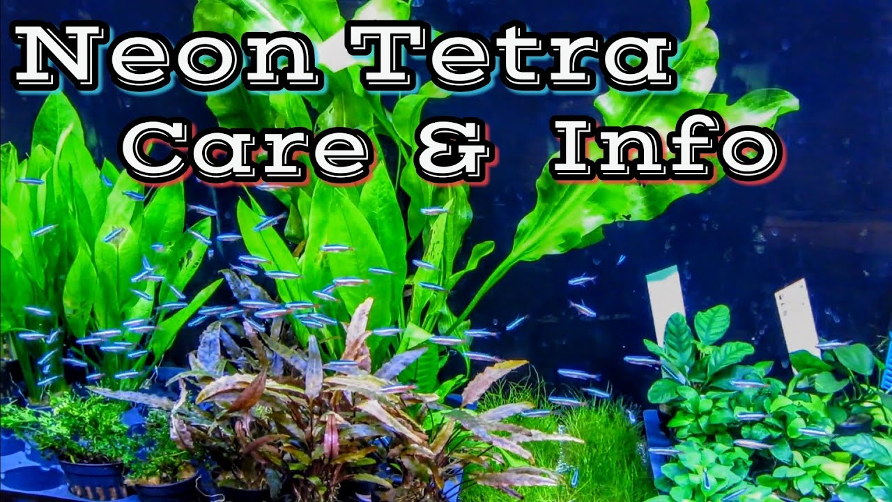 How to Tell if a Neon Tetra Is Going to Lay Eggs? (2019 Updated)