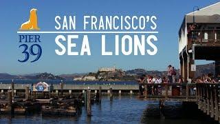 The sea lions of San Francisco - MINI DOCUMENTARY