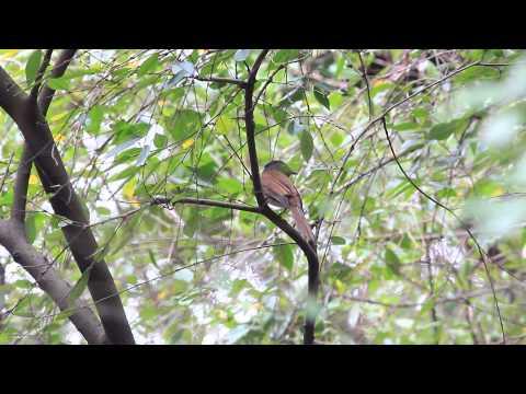 Japanese Paradise Flycatcher 紫綬帶 サンコウチョウ