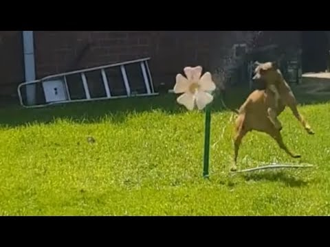 Water-loving dog plays with dancing water flower
