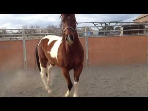 Hoover, Azteca Horse for sale. Vid 1
