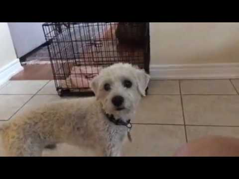 Kodi Schnoodle in dog Bragging and Wanting Something