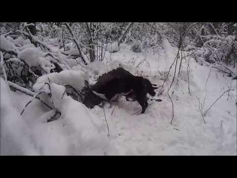 Облавная охота на лося лосей не, наконец, быть может