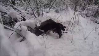 Загонная охота на лося CZ 550