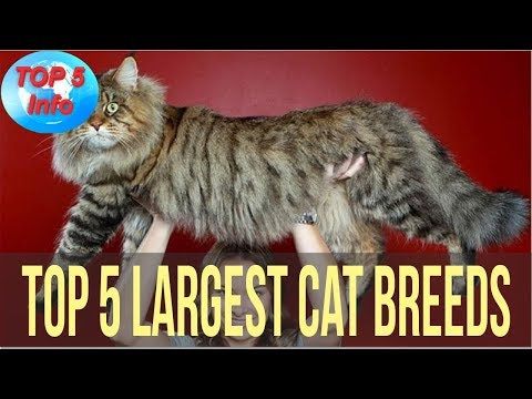 Top 5 Largest Cat Breeds in the world That Actually Exist