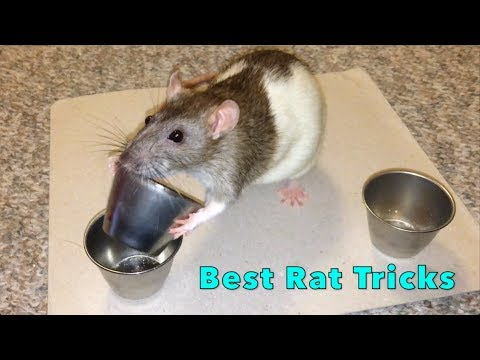 why rat is my favorite pet