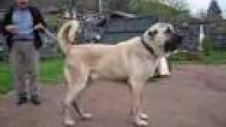 Garip istanbulun en iri köpeği 90cm