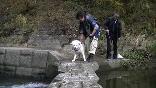 養老渓谷の飛び石を渡れない、我が家の臆病な秋田犬・天天です。 テンパ...