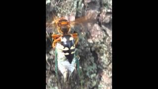 Cicada killer in action