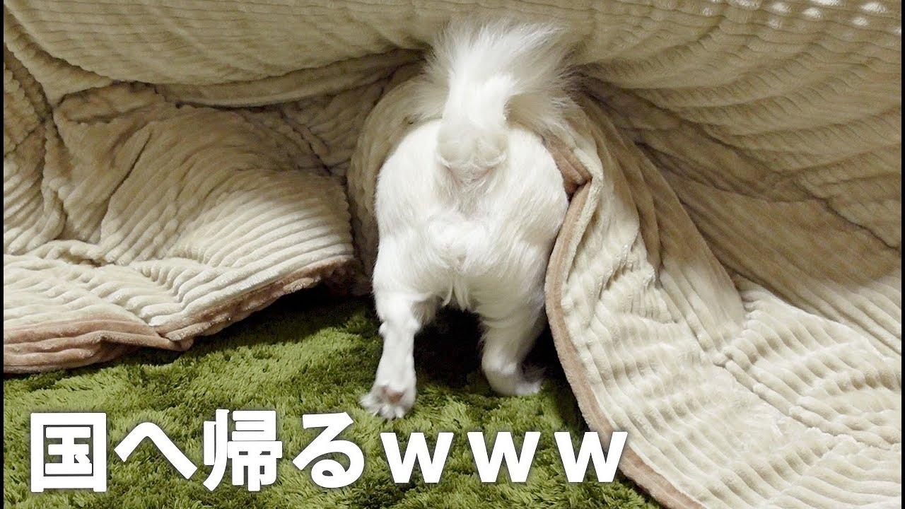 コタツに入った途端安心して背伸びをするチワワ犬www【コタツの妖精】