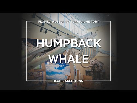 Icon Skeletons: Humpback Whale