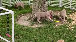 Cane Corso puppies #fawn #fromentino #formentino