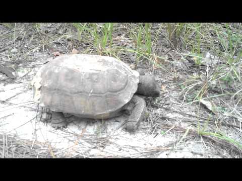 Tortoise at UNF Wildlife Sanctuary in Jacksonville