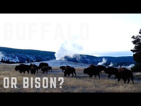 Yellowstone (Buffalo or Bison?) Old Faithful *they had us surrounded