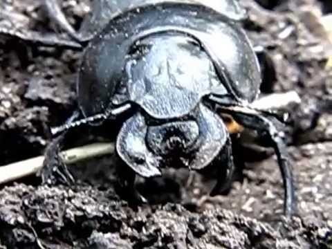 Как избавиться на даче от жука-стригуна (борьба с жуком