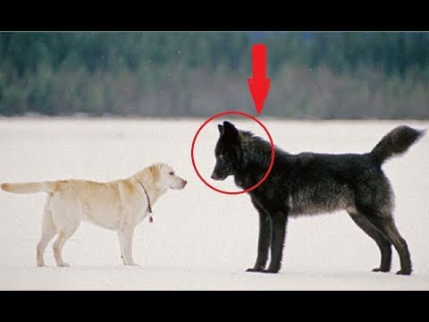Black German Shepherd Dog Meeting With Wolf  | Cute Dogs