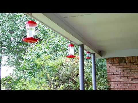 Hummingbird Feeder Party!! Lots of birds on 3 feeders! RAW VIDEO!