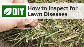 How to Inspect for Lawn Diseases