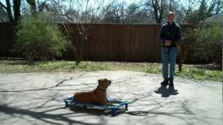 Flower Mound dog training | Zurie - black mouth yellow cur | Redeeming Dogs | Tod McVicker