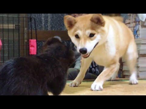 柴犬もも 子猫がうちにやってきた Shiba