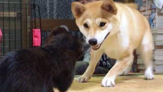 柴犬もも 子猫がうちにやってきた Shiba Inu and a kitten