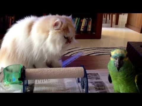 Barbie the cat  vs Rocky the Amazon Parrot