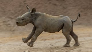Critically Endangered Black Rhino Calf Hits the Ground Running