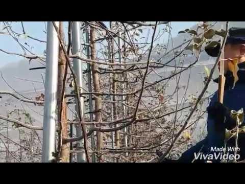 사과나무 동계정지전정 수형관리및 결과지 �