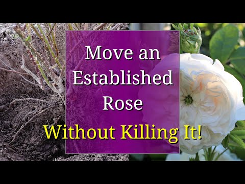 How To Transplant A Rose Bush