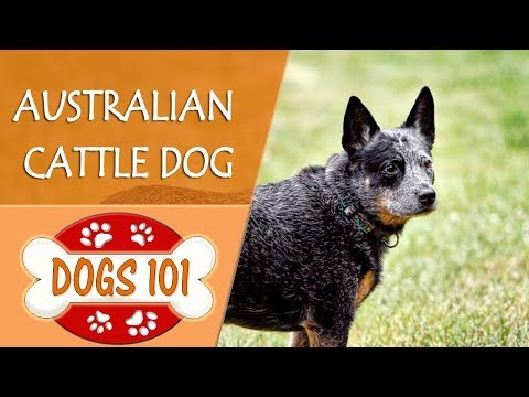 Dogs 101 - AUSTRALIAN CATTLE DOG - Top Dog Facts About the AUSTRALIAN CATTLE DOG