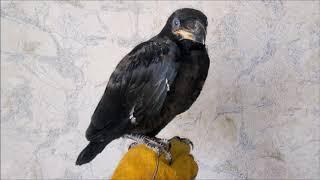 24.04.19 Ворон КРУК:) Птенцы подросли:) Вес 1200 г...