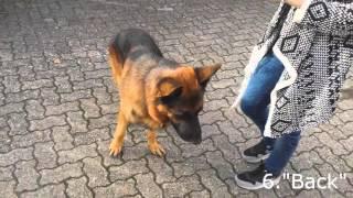 11 Hundetricks mit Schäferhund