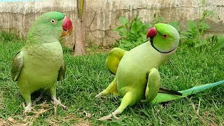 Indian Parrot Greet Indian Par…