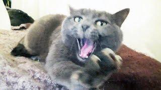 🐱Жизнь кошки Элджи. 🐾Девочка 14 лет. 🐈Британская Короткошёрстная. 🐭Русская Голубая. 🐁