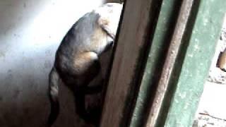 秀才,芯片号156011115005413 ,,11月16日生,四个月拍的陆玉华绿眼睛全犬...