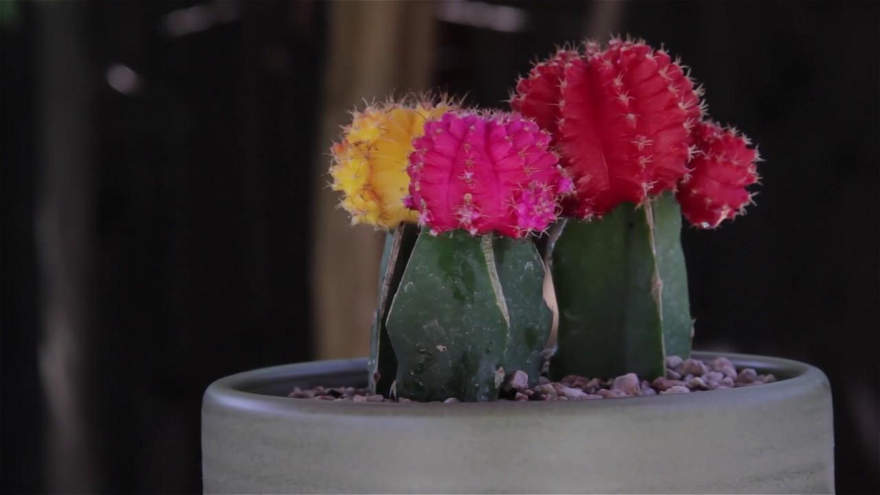 Gymnocalycium Mihanovichii Quot Moon Cactus Quot Youtube