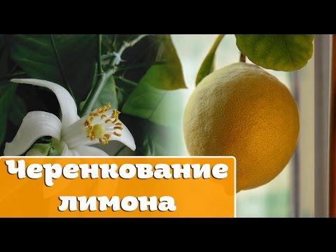 Лимон — Википедия