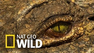 Hipopotam i krokodyl - Atak z zasadzki
