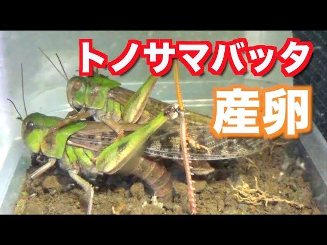 トノサマバッタの餌 トノサマバッタの飼育方法・餌・寿命について解説