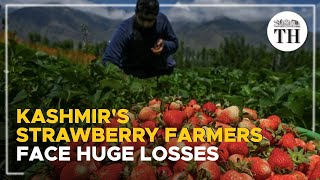Strawberry farmers in Kashmir face huge losses due to the lack of market