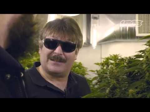 The  420 Cash Crop Canadian 420 cannabis marijuana