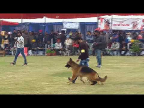 ludhiana dog show 2017