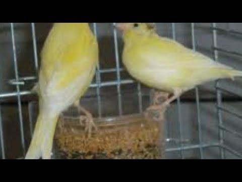 Cara Meracik Makanan Burung Kenari Agar Cepat Birahi Dan Bertelur