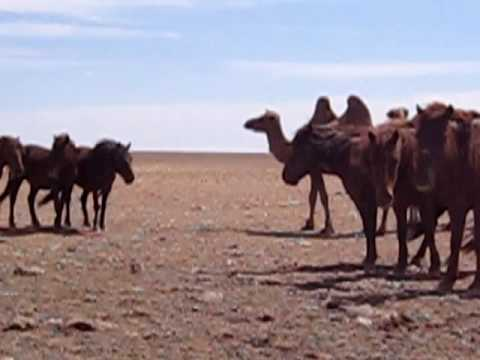 Camels and Horses in the Gobi Desert thumbnail