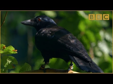 Watch A Crow Solve A Complex Puzzle